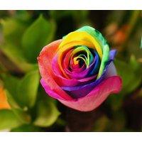 50-rainbow-rare-rose-fresh-seeds-exotic-home-garden-plant-flower-multicolor