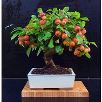 dwarf-bonsai-apple-tree-20-seeds-delicious-fruits-easy-growing-bonsai-fruit