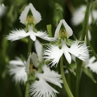 egret-flower-seeds-bonsai-plants-white-dove-orchid-seeds-garden-terrace-50pcs