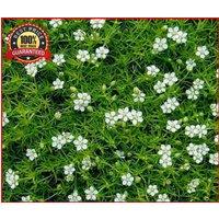 500pcs-irish-moss-ground-cover-heath-pearlwort-sagina-sublata-white-flower-seeds