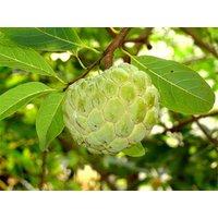 20-heirloom-custard-apple-seeds-annona-squamosa-seedssugar-applecustard-apple
