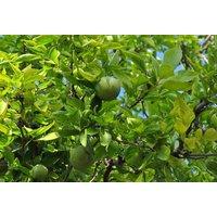 buy-20pcs-organic-aegle-marmelos-seedsbilva-patra-seeds-bel-patra-bael-seeds
