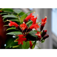rare-flower-seeds-lipstick-flower-garden-plants-bonsai-plants-potted-seed-100pcs