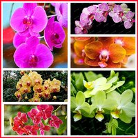 200pcs-mixed-colors-phalaenopsis-flower-seeds-bonsai-plant-butterfly-orchid
