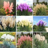 flowers-seed-rare-pampas-grass-4-kinds-garden-plant-cortaderia-selloana-500pcs