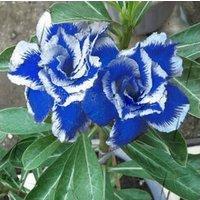 2-pcs-desert-rose-seeds-blue-with-white-side-garden-home-bonsai