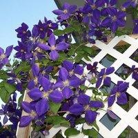 100-pcs-garden-clematis-seed-six-varieties-beautify-courtyard-terrace-purple