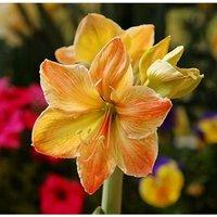 2-pcs-yellow-sunrise-amaryllis-bulbs-hippeastrum