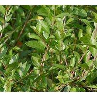200pcs-organic-lawsonia-inermis-heena-seeds-non-gmo-herbal-garden-seeds-online