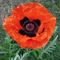perennial-poppy-allegro-50-seeds-deep-scarlet-blooms-black-center-beauty
