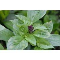 herb-seeds-cinnamon-basil-100-seeds-flavour-medicinal-tea-pasta-salad-ea