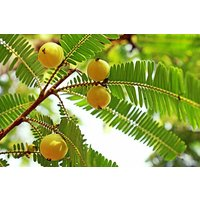 20-amla-seedsemblica-officinalis-seedsemblic-myrobalanindian-gooseberry-seeds
