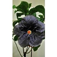 100pcsbag-hibiscus-flower-seeds-giant-hibiscus-seed-color-black