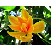 20-michelia-champaka-garden-plant-seeds-for-sale-tropical-plant-seeds-online