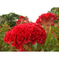 400-giant-cockscomb-blood-red-seedsshowy