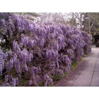 1-purple-wisteria