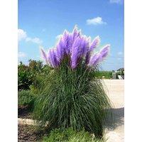 purple-pompas-grass-seed-50-seedsa-seller