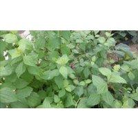 calea-zacatechichi-28g-dried-foliage-1g-calea-zacatechichi-50x-extract
