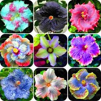 200-pcs-giant-hibiscus-flower-seeds-chinese-cheap-flower-hibiscus-seeds-mixed