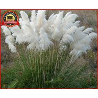 2000-white-pampas-grass-cortaderia-selloana-seeds-showy-garden-flowers