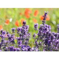heirloom-40-provence-lavender-lavandula-garden-common-lavendar-blue-flower-seeds