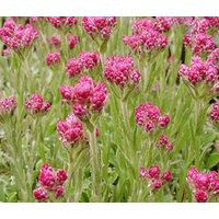 antennaria-pussytoes-red-antennaria-dioica-rubra-100-bulk-seeds