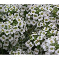 alyssum-carpet-of-snow-lobularia-maritima-10000-bulk-seeds