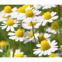chamomile-roman-chamaemelum-nobile-5000-bulk-seeds