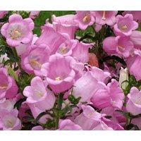 canterbury-bells-pink-campanula-medium-1000-bulk-seeds