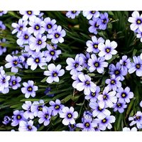 blue-eyed-grass-sisyrinchium-bellum-1500-bulk-seeds