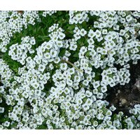 alyssum-sweet-lobularia-maritima-10000-bulk-seeds