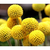 craspedia-billy-buttons-craspedia-globosa-500-bulk-seeds