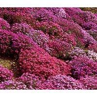 aubrieta-rock-cress-cascade-mix-aubrieta-hybrida-superbissima-500-bulk-seeds
