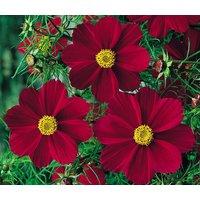 cosmos-red-versailles-cosmos-bipinnatus-1000-bulk-seeds