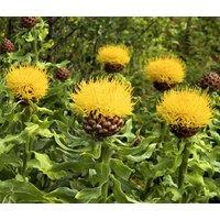 cornflower-yellow-globe-centaurea-macrocephala-200-bulk-seeds