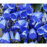 canterbury-bells-blue-campanula-medium-1000-bulk-seeds