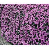 aubrieta-rock-cress-cascade-purple-aubrieta-hybrida-superbissima-500-bulk-seeds