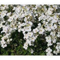 arabis-wall-rock-cress-white-arabis-alpina-caucasica-500-bulk-seeds