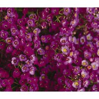 alyssum-oriental-nights-lobularia-maritima-100-seeds