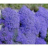 aubrieta-rock-cress-cascade-blue-aubrieta-hybrida-superbissima-50-seeds