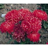 aster-milady-scarlet-red-dwarf-callistephus-chinensis-20-seeds