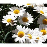 daisy-ox-eye-oxeye-leucanthemum-vulgare-5500-bulk-seeds