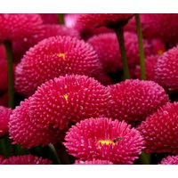 english-daisy-red-bellis-perennis-super-enorma-1000-bulk-seeds