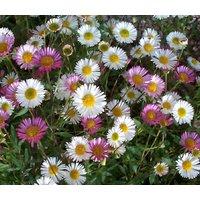 erigeron-profusion-erigeron-karvinskianus-500-bulk-seeds