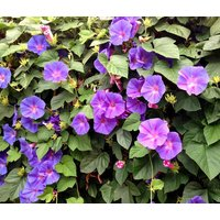 morning-glory-mixed-colors-ipomoea-purpurea-1000-bulk-seeds