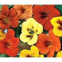 nasturtium-jewel-mix-tropaeolum-majus-500-bulk-seeds
