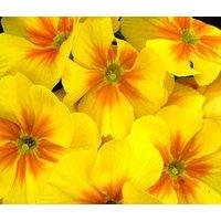 primrose-english-accord-yellow-primula-vulgaris-50-bulk-seeds