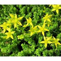 sedum-gold-moss-stonecrop-sedum-acre-1500-bulk-seeds