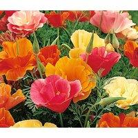 california-poppy-mission-bell-eschscholzia-californica-50000-bulk-seeds