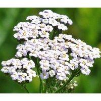 yarrow-white-achillea-millefolium-10000-bulk-seeds